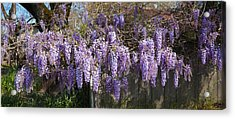 Wisteria Flowers In Bloom, Sonoma Acrylic Print