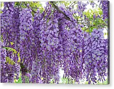 Wisteria Full Bloom Acrylic Print