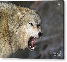 Wolf-animals-image 10 Acrylic Print