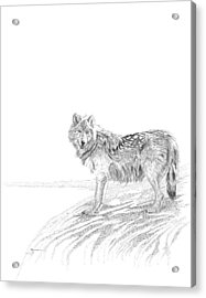 Wolf Acrylic Print by Carl Genovese