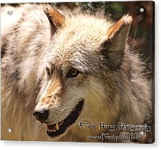 Wolf Close Up Acrylic Print by Frank Piercy