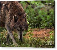 Wolf Acrylic Print by Frank Piercy