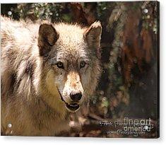 Wolf Intently Acrylic Print by Frank Piercy
