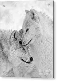 Wolf Love Black And White Acrylic Print