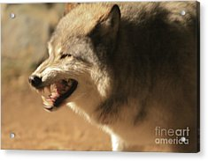 Wolf Power Acrylic Print by Kate Purdy