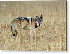 Wolf Profile Acrylic Print