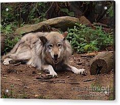 Wolf Resting Acrylic Print by Frank Piercy