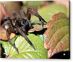 Wolf Spider Acrylic Print