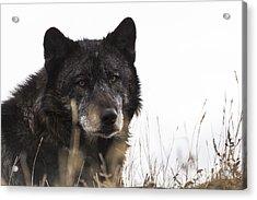 Black Wolf Acrylic Print