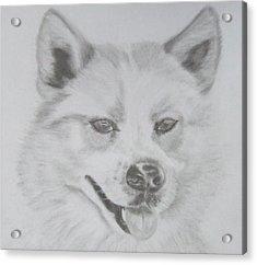 Wolf The Husky Acrylic Print