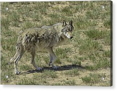 Wolf Acrylic Print by Tom Wilbert