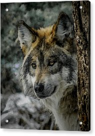 Wolf Upclose Painterly Acrylic Print by Ernie Echols