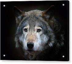 Wolf Acrylic Print by Vladimir Meshkov