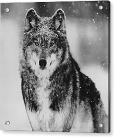 Wolf In Yellowstone National Park Acrylic Print by Retro Images Archive