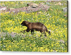 Wolverine Acrylic Print by Dave Knoll
