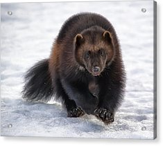 Wolverine On Snow #2 Acrylic Print