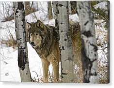 Wolves-animals-image 6 Acrylic Print by Wildlife Fine Art
