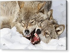 Wolves Rules Acrylic Print by Mircea Costina Photography