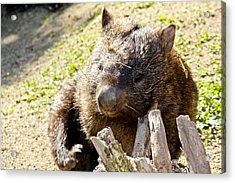 Acrylic Print featuring the photograph Wombat Scratching by Debbie Cundy