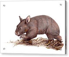 Wombat Walk Acrylic Print by Susan Pope