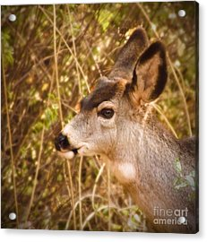 Wondering Deer Acrylic Print by Kimberly Maiden