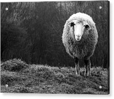 Wondering Sheep Acrylic Print by Ajven