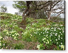 Wood Anemone And Primroses Acrylic Print by Ashley Cooper