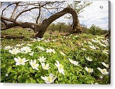 Wood Anemone Acrylic Print by Ashley Cooper