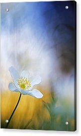 Wood Anemone Flower Switzerland Acrylic Print by Heike Odermatt