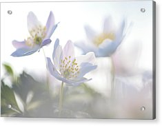 Wood Anemone Flowers Netherlands Acrylic Print by Heike Odermatt