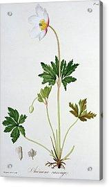 Wood Anemone Acrylic Print by LFJ Hoquart
