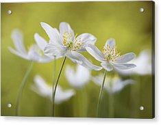 Wood Anemones Acrylic Print
