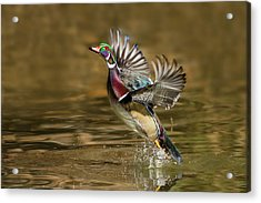 Wood Duck (aix Sponsa Acrylic Print by Larry Ditto