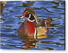 Wood Duck  Acrylic Print by Brian Cross