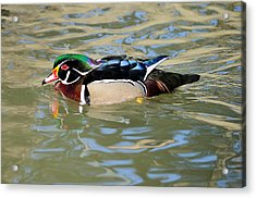 Wood Duck Drake  Acrylic Print by James Lewis