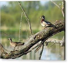 Wood Duck Pair In Tree Acrylic Print
