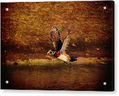 Wood Duck Taking Off Acrylic Print by Deborah Benoit