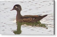 Wood Duck Visits The Pond Acrylic Print by Diane Mitchell
