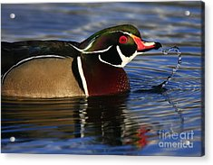 Wood Duck Waterdrops Acrylic Print