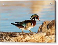 Wood Ducks (aix Sponsa Acrylic Print by Larry Ditto