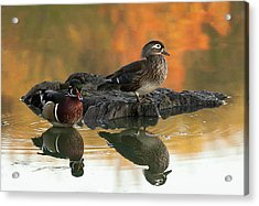 Wood Ducks Acrylic Print