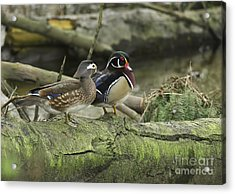 Wood Ducks On Log 4 Acrylic Print by Sharon Talson