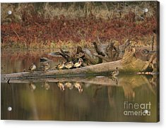 Wood Ducks On Log Acrylic Print by Russell Christie