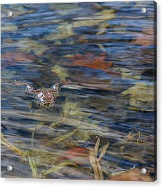 Wood Frog Square Acrylic Print by Bill Wakeley
