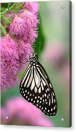 Wood Nymph Butterfly Acrylic Print by Nigel Downer