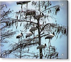 Wood Storks Acrylic Print by Will Boutin Photos