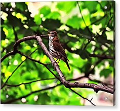 Wood Thrush Singing Acrylic Print