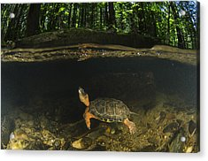 Wood Turtle Swimming North America Acrylic Print by Pete Oxford