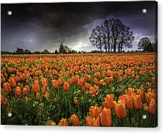 Woodburn Tulip Festival Acrylic Print by Jean-Jacques Thebault