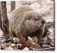 Woodchuck Watching Acrylic Print